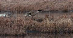 Canada Geese Standing on Floating Bog, One Fluffs Feathers, Mated Pair