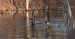 Canada Geese in Pond, Excitedly Bobbing Heads, Calling, Both Exit, Fly Off