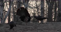 Tom Turkey on Hillside at Dawn, Trying to Get Hen Attention