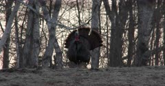 Tom Turkey on Hillside at Dawn, Birch Trees in BG