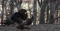 Tom Turkey Laying on Hillside at Dawn, Jumps Up as Hens Enter Scene, Poses