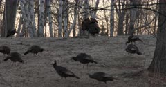 Tom Turkey Displaying for Small Flock of Hens on Hillside at Dawn