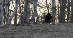 Tom Turkey Moving Off, Following Flock of Hens Off Frame