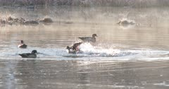 Wood Ducks Drakes Circling, Fighting in Pond During Breeding Season