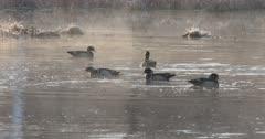 Wood Ducks, Drakes Circling, Posturing in Pond During Breeding Season