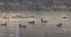 Wood Ducks, Drakes Interacting in Pond During Breeding Season