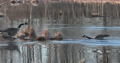 Canada Geese, Mated Pair Greeting Each Other, One Sinks on Floating Bog