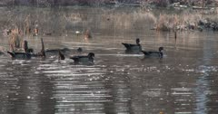 Wood Ducks, Drakes Vying For Attention of Single Hen, All Following, Surrounding Hen