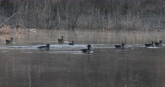 Wood Duck Breeding Season, Drakes Surrounding Single Hen