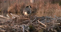 Canada Goose Hen, Nest-Building, Stepping Onto Beaver Lodge For Potential Site