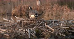 Canada Goose Hen, Nest-Building, First Investigation of Site, ZO to WA