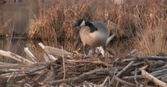 Canada Goose Hen, Nest-Building, Looking Over Potential Material Available