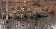 Canada Goose Hen, Nest-Building, Hen Standing On Old Beaver Lodge