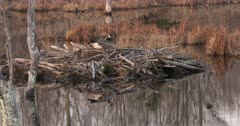 Canada Goose Hen, Nest-Building, Settling Down onto Potential Site for Nest