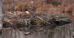 Canada Goose Hen, Nest-Building, ZI to CU Hen Sitting On Nest Site