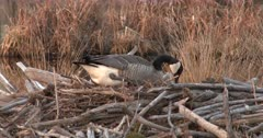 Canada Goose Hen, Nest-Building, Pulling Material Around Body