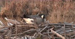 Canada Goose Hen, Nest-Building, Pulling Material Around Both Sides Of New Nest