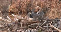 Canada Goose Hen, Nest-Building, Frontal View of Hen Using Feet to Dig Out Site