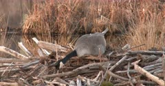 Canada Goose Hen, Nest-Building, Selecting Material For Front of Nest