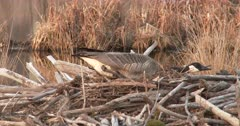 Canada Goose Hen, Nest-Building, Using Body to Form Nest