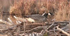 Canada Goose Hen, Sitting On Potential Nest Site