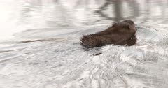 Muskrat Swimming In Pond, Away From Camera