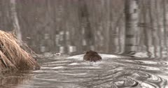 Muskrat Swimming, Circles Around Behind Grass Hummock, Exits