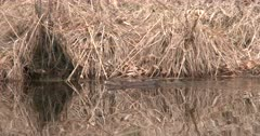 Muskrat Swimming in Pond Past Dried Grass on Bank