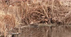Muskrat Swimming, Climbs Out onto Bank