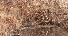 Muskrat Sitting on Shore of Pond, Turns Enters Water And Swims Off, Exits
