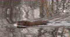 Muskrat Floating Very Still In Water, Turns, Swims, Sniffs Air, Track as Exits