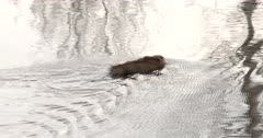 Muskrat Swimming, Exits to Right