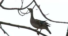 Wood Duck Hen Sitting in Tree, Wind Blowing Duck Around