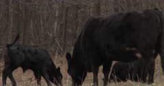 Black Angus Calf, Frisky, Butting Heads With Mother Cow