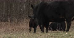 Frisky Black Angus Calf, Butting Heads, Playing With Mother Cow