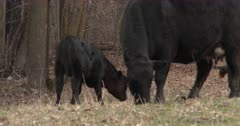 Playful Black Angus Calf, Butting Heads With Mother Cow, Wanting to Play