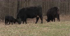 risky Calf, Butting Heads With Mother, Black Angus Cow