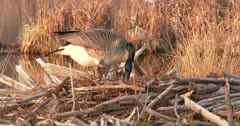 Canada Goose Hen, Nest-Building, Using Beak to Dig Deeper into Nest Hole, Forming Nest