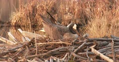 Canada Goose Hen, Nest-Building, Situating Material, Then Placing Body in Hole to Form Nest