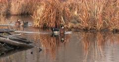 Trio of Wood Ducks Swimming Through Pond, Past Beaver Lodge.
