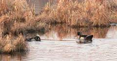 Trio of Woods Ducks, Drakes Competing for Hen