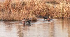 Trio of Wood Ducks During Breeding Season, Hen Posturing, Drakes Competing