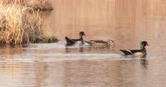 Trio of Wood Ducks During Breeding Season, Hen Posturing As Drakes Swim Near.