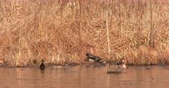 Two Pair of Wood Ducks Posturing During Breeding Season