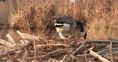 Canada Goose Hen, Nest-Building, Picking Up Large Branches For Nest Site