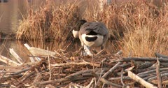 Canada Goose Hen, Nest-Building, Moving Large Branches For Nest Site