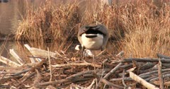Canada Goose Hen, Nest-Building, Stops and Sinks To Nest, Alarmed By Something Off Camera