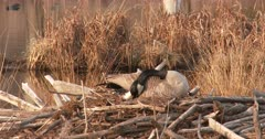 Canada Goose Hen, Nest-Building, Side View of Feet Digging Nest Hole Deeper