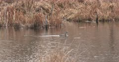 Pied-billed Grebe Floating in Pond, Sees Something Off Frame, Quickly Swims Off
