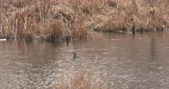 Pied-billed Grebe Floating in Pond, Dives